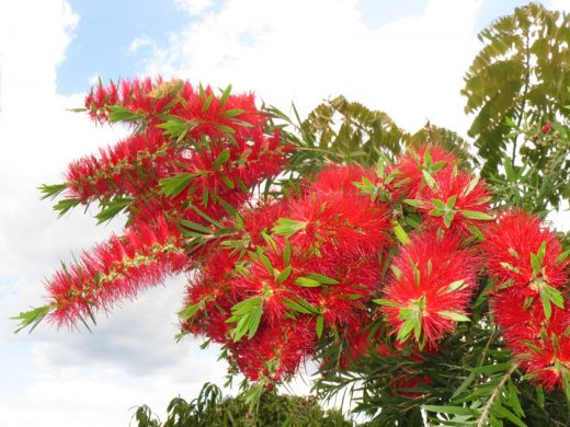 Bottlebrush from my garden